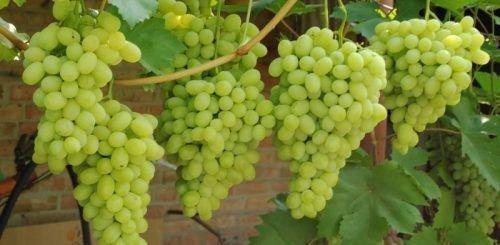 Виноград Талисман - родоначальник Лорда