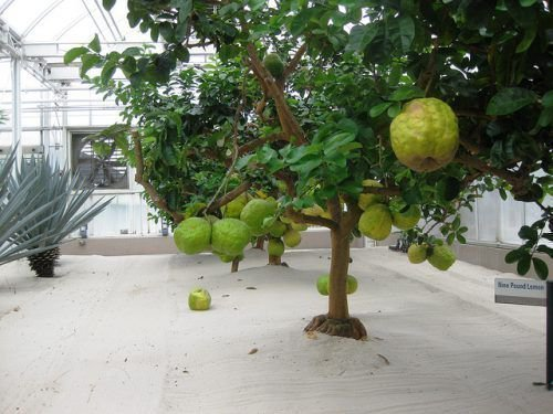 Дерево лимона