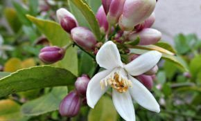 Причины отсутствия цветов на домашнем лимоне