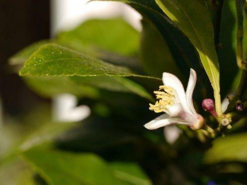 Лимон Лунарио цветет