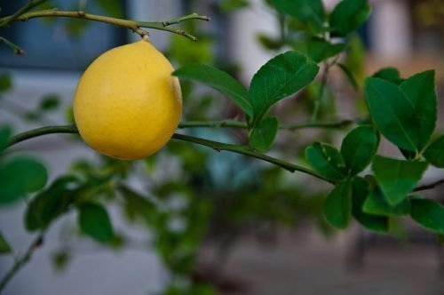 Лимон Мейера на дереве