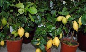 Характеристика лимона Павловского