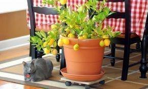 Особенности выращивания лимона в домашних условиях в горшке