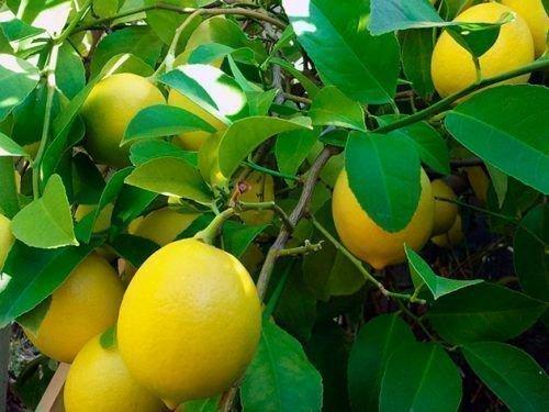 Лимон Югославский скороспелый