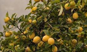 Почему лимон сбрасывает плоды