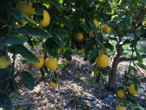 Лимон Мейера растет