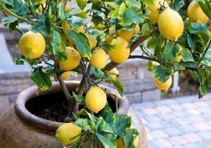 Лимон Мейера в кадке