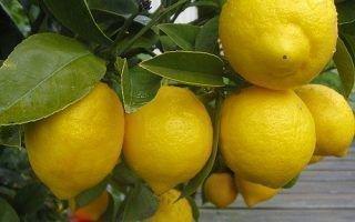 Почему лимон не плодоносит в домашних условиях
