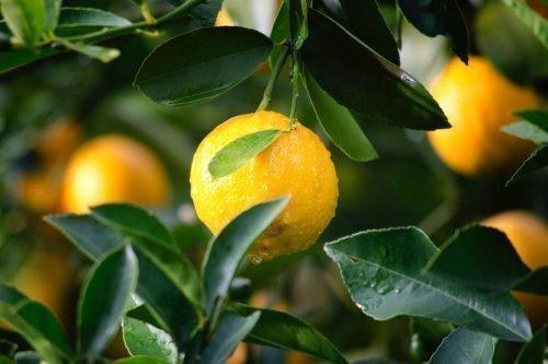 Плоды лимона Пандероза