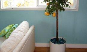 Уход за лимонным деревом в домашних условиях и особенности сортов