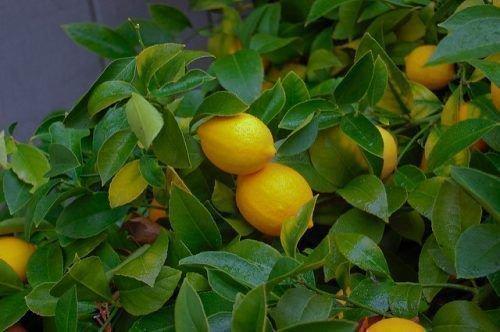 Урожай лимона
