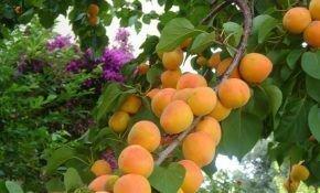 Особенности абрикоса сорта Чемпион Севера