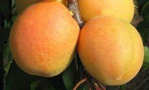 Описание абрикоса Персикового