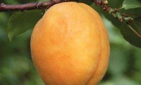 Выращивание сорта абрикоса Сибиряк Байкалова