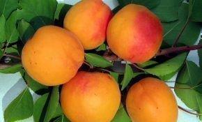 Сорт абрикоса Снежинский: описание, особенности