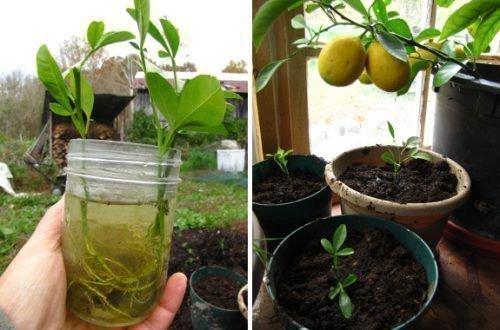 Черенки лимона
