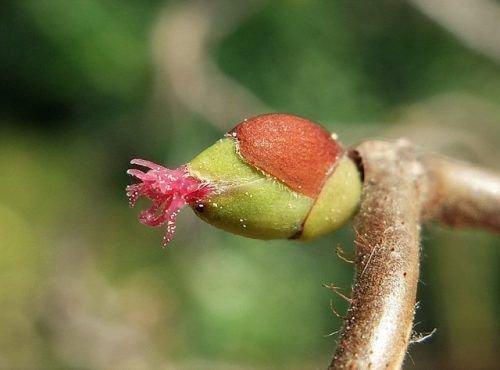 Цветки лещины