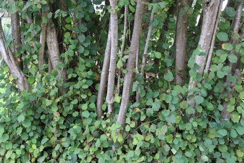 Дерево фундука