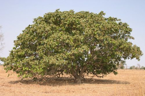 Дерево кешью
