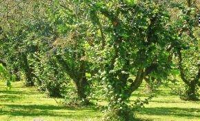 Характеристика дерева фундука и его плодов