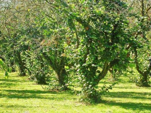 Дерево лещины