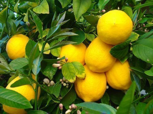 Дерево лимона Эврика
