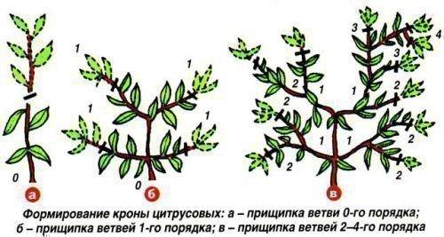 Формирование кроны цитрусовых