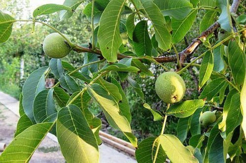 Грецкий орех Изящный