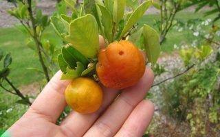 Особенности ухода за комнатным растением каламондином