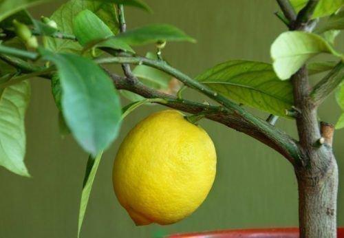 Карликовый лимон