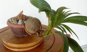 Особенности выращивания кокосовой пальмы
