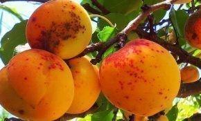 Причина появления коричневых пятен на абрикосах