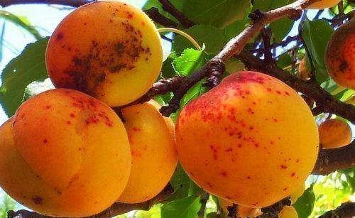 Коричневые пятна на абрикосе