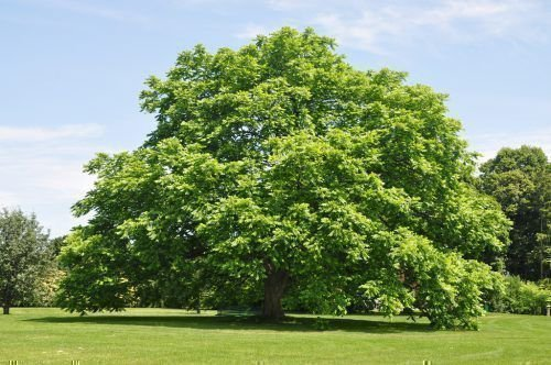 Ланкастерский орех дерево
