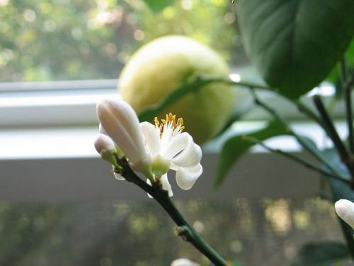Лимон Эврика цветет