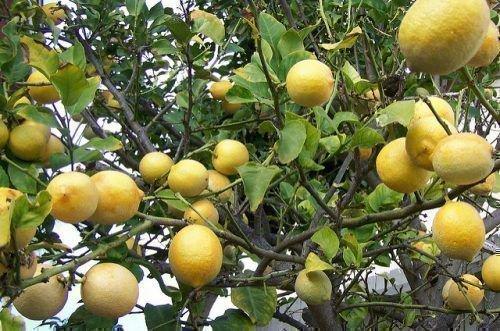 Лимон Мейера дерево
