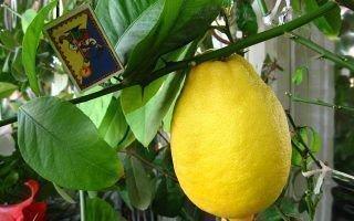 Как ухаживать за новогрузинским сортом лимона
