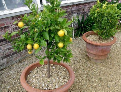 Лимоны в кадках