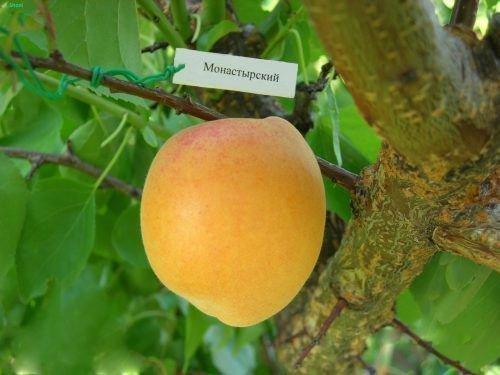 Монастырский абрикос