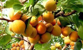 Характеристика сорта абрикоса Орловчанин