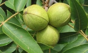 Ореховое дерево Пекан