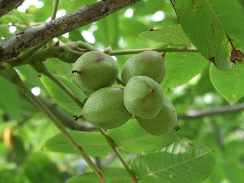 Плодоношение грецкого ореха