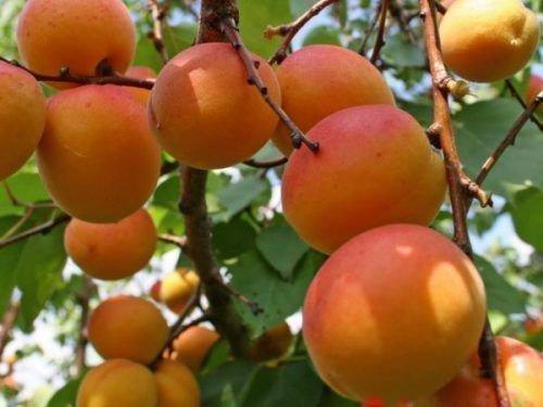 Россиянин абрикос