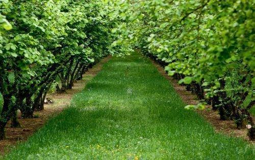 Сад лещины