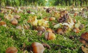 В какой период собирают лесные орехи