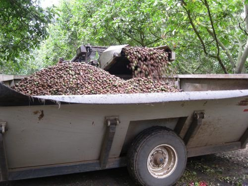Сборка грецкого ореха