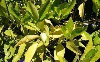 Лимонные листья скрутились и пожелтели: причины недуга