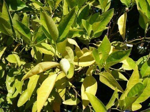 Скручиваются листья лимона