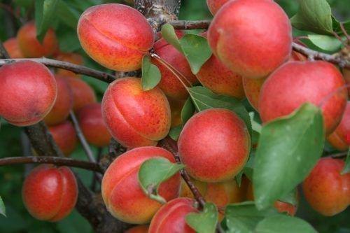 Снегирек абрикос