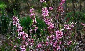 Особенности выращивания степного миндаля